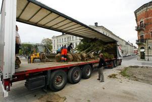 Lönnarna som kommer från Danmark och har åkt 100 mil på lastbil vattnades rejält under gårdagen.