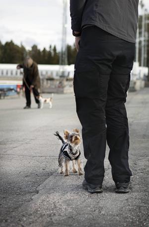 Yorkshire terriern Leo håller koncentrerat kontakt med husse Alexander Ögren.