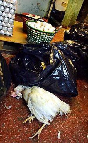 Foto: GUNWIGH\nDöda höns i säckar. I hönseriets packrum fanns 19 säckar med döda höns, intill de paketerade äggen. I en av säckarna var en höna vid liv. Den fick avlivas.