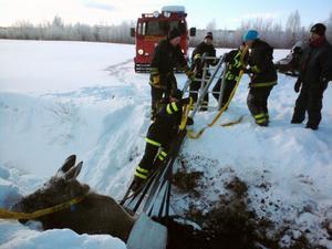 Räddningstjänsten la ett rep runt älgkon och det var den rätta metoden för att få upp djuret