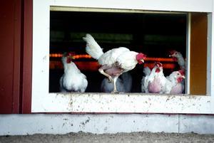 En höna producerar ägg ungefär 60 veckor.