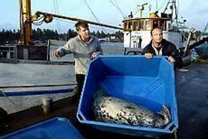Yrkesfiskarna Bernt Bergström, Karlholm och Tomas Karlsson, Sikvik har köpt sig en trålare. Orsaken är att de tröttnat på att få näten länsade av sälar. Istället får de nu säl i trålen. - Vi har en hel liga sälar efter oss varje gång vi lägger ut trålen, berättar Tomas. Foto: LEIF JÄDERBERG