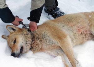 Svenska Rovdjursföreningen vill ha upplysningar om de försvunna Junselevargarna.