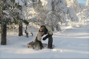 Professor Jon Arnemo kontrollerar att vargen har somnat ordentligt innan den flyttas.