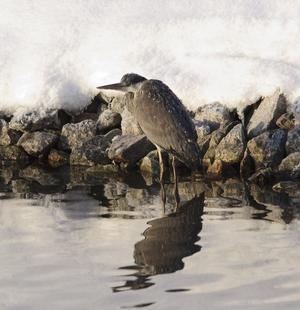Den här stackars hägern såg frysen ut där han stod i vattnet med vingarna fulla med is.