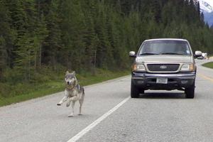 Vargar och människor befinner sig ofta på kollisionskurs. Bilden tagen i västra Kanada.