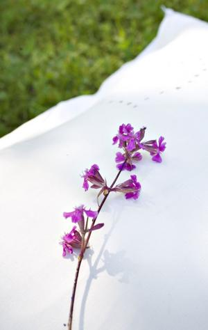 Tjärblomstret kallas också tjärlysa och förr i tiden Flugfånga. Den känns igen på att skaftet är klibbigt nedanför blommorna.