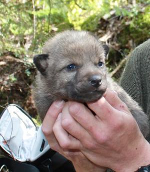 2010 föddes den första valpkullen i Rialareviret. Nu bekräftas att valpar föddes även 2011.
