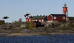 Svenska Högarna. Vid Svenska Högarna i ytterskärgården hittades 130 svärtor, vilket gladde Roine Karlsson mycket vid sjöfågelsinventeringen nyligen.Foto: Roine Karlsson