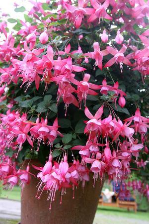 Fuchsian är Nils Larssons favorit bland alla blommorna.