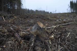 Elin Götmark, talesperson för Skydda Skogen, svarar ett tidigare inlägg från Föreningen Skogen om att skogsavverkning kan rädda klimatet.