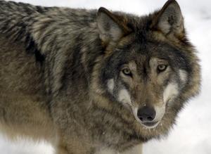 Överklaga. De sex vargarna i Färnareviret finns kvar, ovetandes om människans och juridikens trätande.Foto: