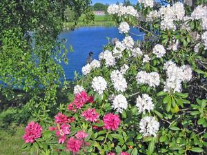 Sl. av familjen ljungväxter, innefattar även undersläktet Azalea.