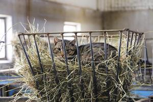 Ladugårdskatterna tycker att kornas mat är perfekta liggplatser.