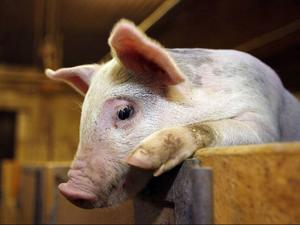 Om alla skulle välja en vegetarisk dag i veckan skulle fler än 20 miljoner djur slippa plågas i uppfödning, långa transporter och slakt, bara i Sverige. Foto: jan andersson