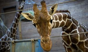 Giraffen Marius är död.