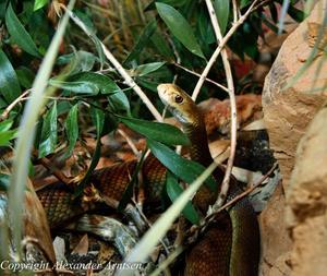 en vacker bild på världens giftigaste orm Inlandstaipanen. Den är fotograferad på Tropicarium på Kolmården.