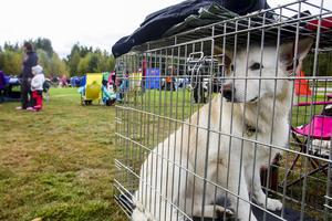 Vita herdehunden Dio fick vänta i buren.