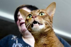 Kanelfärgad. Agneta Rudbergs katt Frutti av rasen abessinier hade precis blivit nominerad till final.