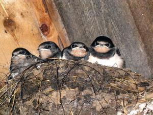 Sex svalungar (två gömmer sig) bor i fjöset och mamman och pappan flyger in och ut och ger dem mat.