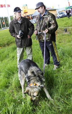 Sten-Åke Rönnqvist, tv, fanns i helgen i Östersund för att erbjuda länsbor att testa sin hund på björn. Detta med hjälp av en uppstoppad och radiostyrd björn. På bilden ser vi också Jörgen Persson med hunden Ila.