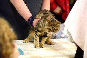 Det gäller att inte vara folkskygg. Katterna granskas inför en intresserad publik.