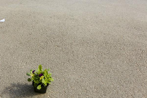 En mycket ensam blomma på en trottoar men den får iallafall vara ute, ett tydligt vårtecken.