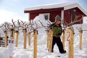 Elis Fjällgren, 5 år, gjorde ett bra jobb med att ta bort lassolinorna från renhornen. Foto: Carin Selldén