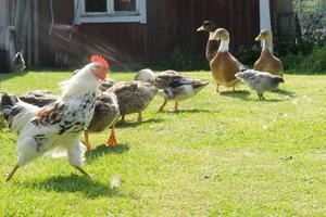 På gården bor även Bjurholmshöns och Blekingeanka.
