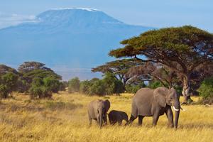 Elefanter, med Kilimanjaro i bakgrunden.