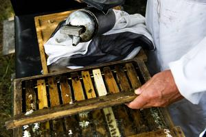 Att öppna bikupan kräver sin försiktighet trots att bina är framavlade för att vara snälla.