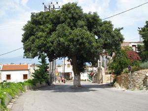 Hittade det här trädet som växer mitt i vägen. Tycker det ser lite häftigt ut.