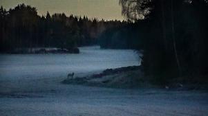 Om du ser varg eller spår efter varg ska du anmäla detta på rovobs.se.