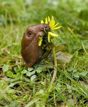En glupsk mördarsnigel på tomten är en syn som många trädgårdsägare fasar för.