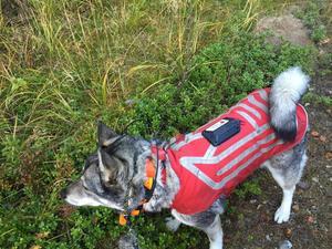 Hundar kan få extra skydd genom en väst som avger elstötar till attackerande vargar.