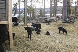 Ingalill Eriksson brukar gå förbi och säga hej till fåren vid Sidsjön som hon hoppas får vara kvar, alternativt att det kommer nya till området.