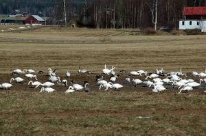 Förtrupp. Vårfåglarna är tidiga och trots det stora antalet är det bara en förtrupp till alla som är på väg.