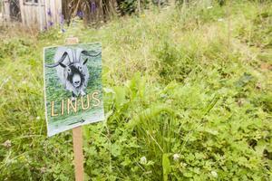 Här sprang Linus runt bland bär och buskar och lekte. Han var god vän med alla de katter som paret Kjellberg också har.