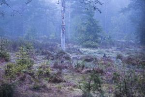 På natten letade sig dimman in över skogsgläntan. Men någon björn syntes inte till – inte då i alla fall.