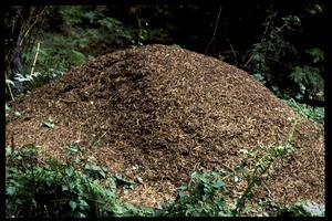 Skogsmyran är en av de absolut vanligaste myrarterna i Sverige. Skogsmyran bygger stackar i skogen, men lockas även till hus.