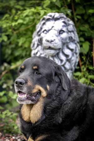 Rottweilern Stanley trivs i trädgården hemma hos familjen Norlén.