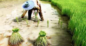 Prova på livet som risbonde - ett av många sätt att se mer av Thailand.