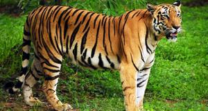 Nu stänger Indien sina tigerparker för turister - ett kritiserat beslut.