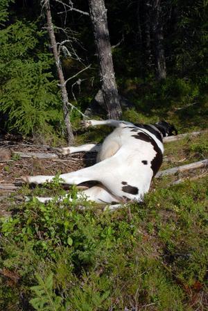 Sannolikt vargdödad. Under tisdagskvällen rovdjursdödades en kalv ett par kilometer söder om Nybergets fädodar i Rättviks finnmark.