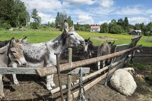 Gårdens fyra åsnor kommer bra överens med fåret Tösen, som Emma själv fött upp med flaska.