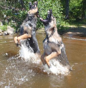 Nej, det är schäferhundarna Yack o Natz som hoppar efter vattendroppar .