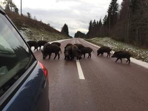 Vildsvinen orsakade vissa trafikstörningar.