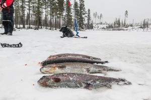 Drygt 2,5 kilo regnbågslax, och i bakgrunden den svarta norska älghunden Tjapp från Åsarna.