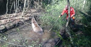 Sex man från räddningstjänsten plus två privatpersoner hjälpte till att få upp älgkon ur diket. På bilden ser vi Peter Holmqvist.