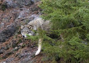 Vargen på bilden är från Kolmårdens djurpark.